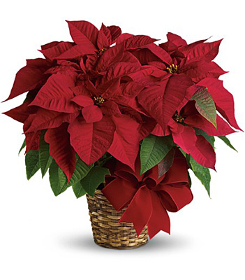 Red Poinsettia from Flowers, Etc. in Newington, CT