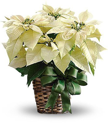 White Poinsettia from Flowers, Etc. in Newington, CT