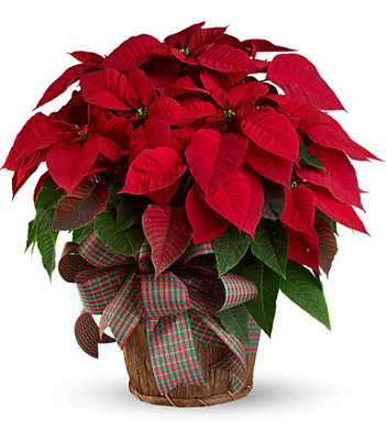 Large Red Poinsettia from Flowers, Etc. in Newington, CT