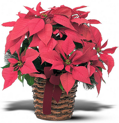 Poinsetta Basket from Flowers, Etc. in Newington, CT