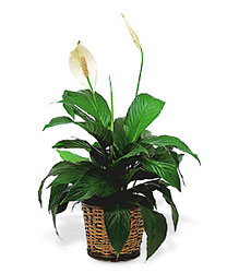 Small Spathiphyllum Plant from Flowers, Etc. in Newington, CT