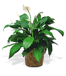 Medium Spathiphyllum Plant from Flowers, Etc. in Newington, CT